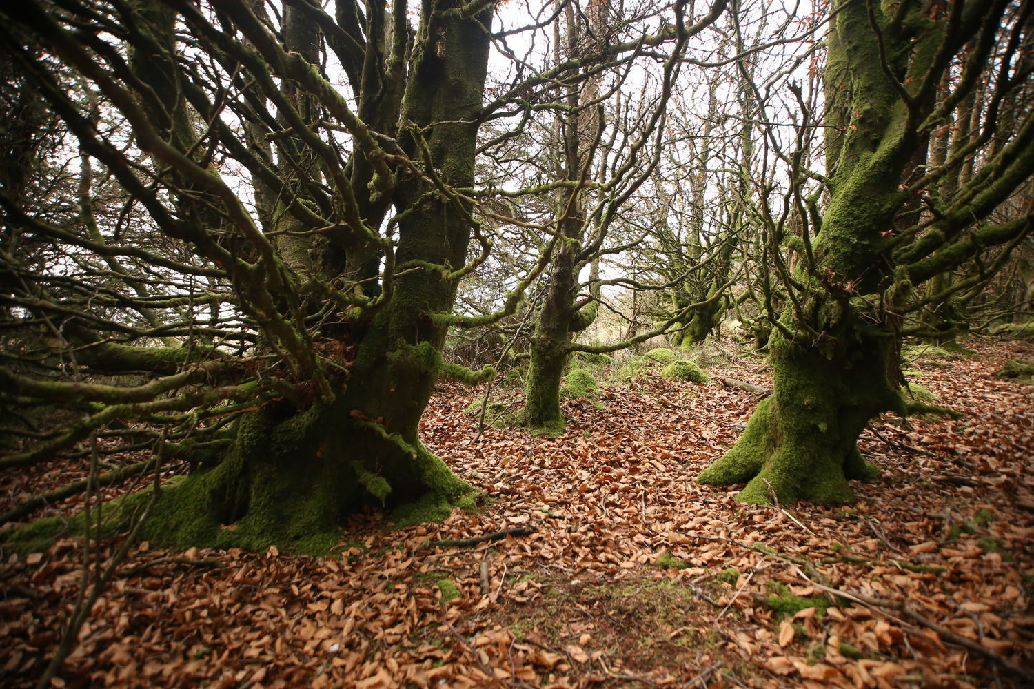 DARTMOOR trees w/ arms